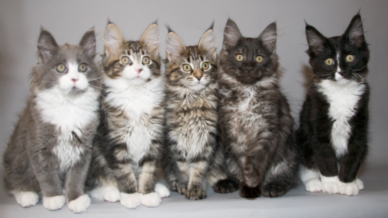 Purebred Maine Coons