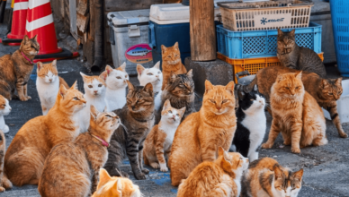 breeds of Asian cats