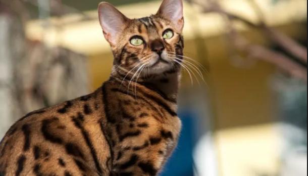 Bengal cat  characteristics