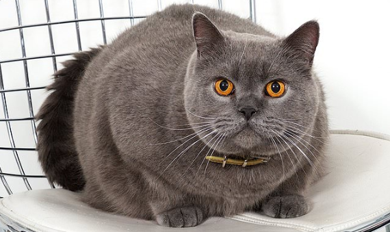 Health issues related to the British Shorthair