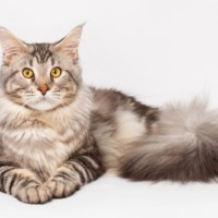 CFA Standard Maine Coon Cat Breeder | maine coon companion