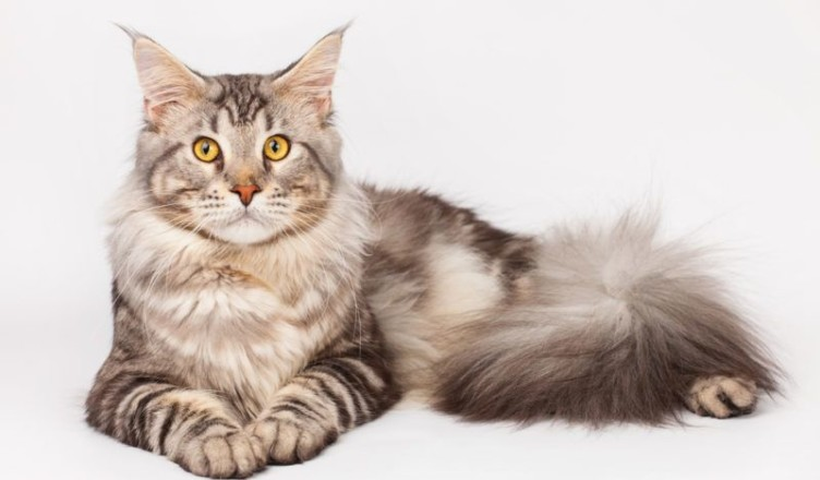 CFA Standard Maine Coon Cat Breeder