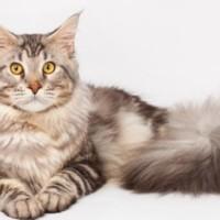 CFA Standard Maine Coon Cat Breeder | maine coon companion
