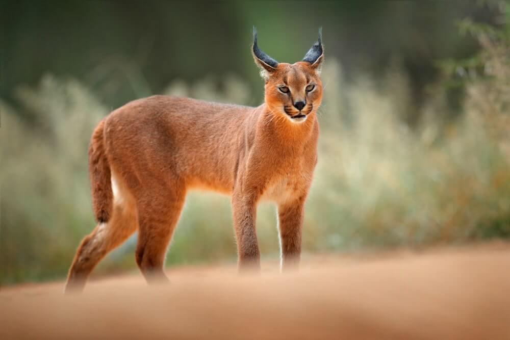 Caracal Cat Breed