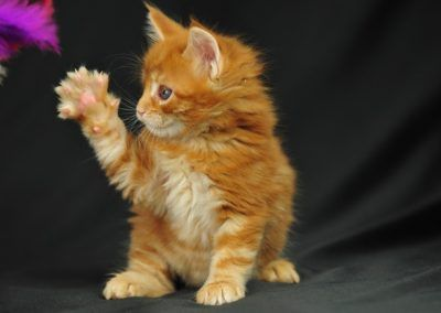 Cute-Little-Orange-Maine-Coon