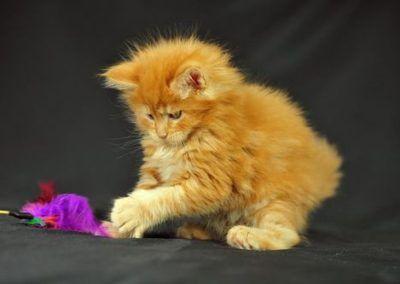 Cute Orange Maine Coon-Kitten