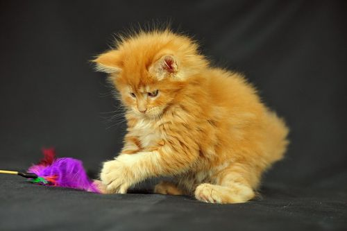 Grooming a Maine Coon
