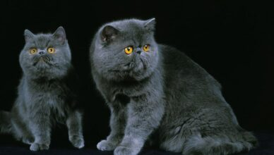 Exotic Domestic Cats