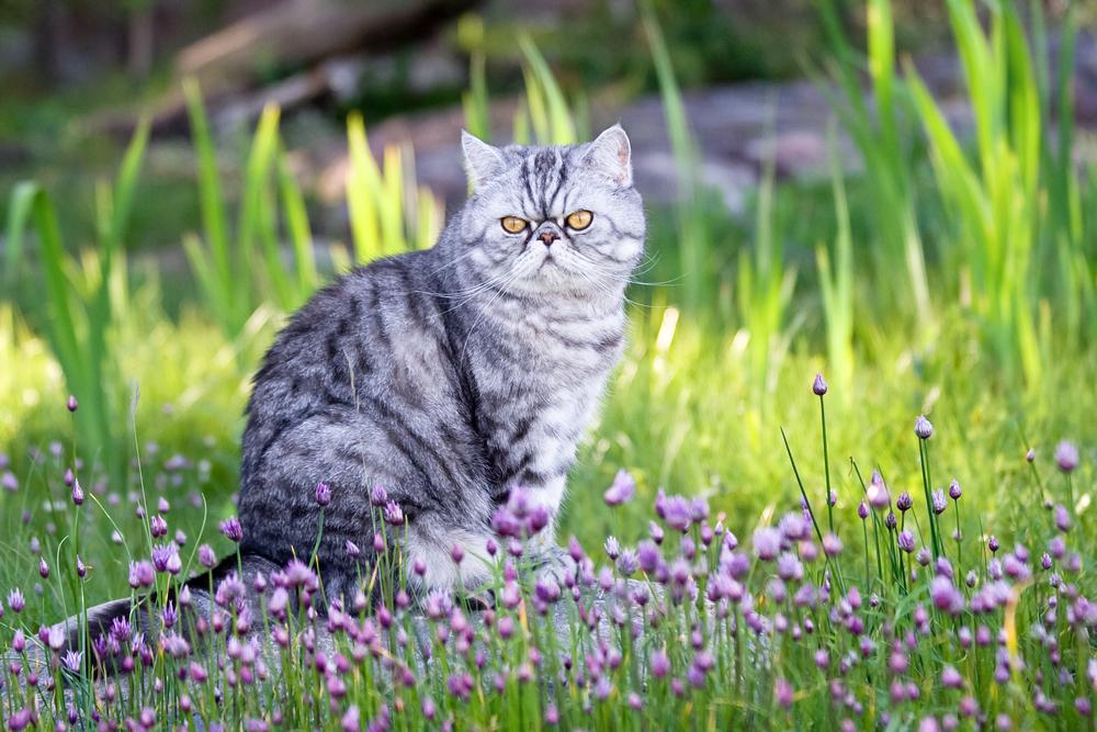 Exotic shorthair cat grooming