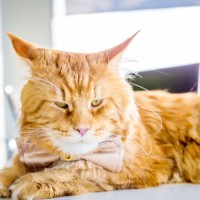 Facts And Features Of Maine Coon (Domestic Cats).