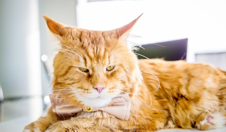 characterstics Of Maine Coon
