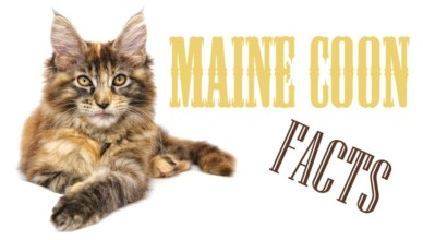 Facts about maine coon