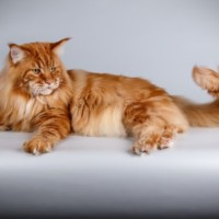 Fife breed standard Maine Coon