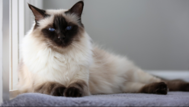 hypoallergenic cats for adoption