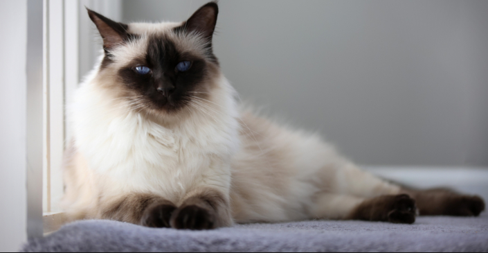 Hypoallergenic Cats For Adoption Mainecoon Companion