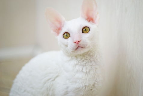 laperm cat price