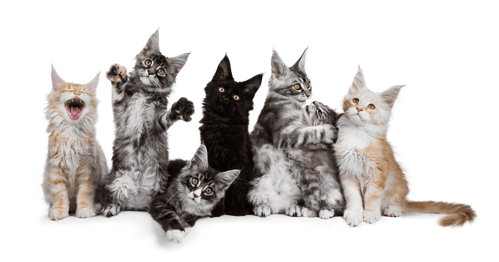 Living Situation of Maine Coon