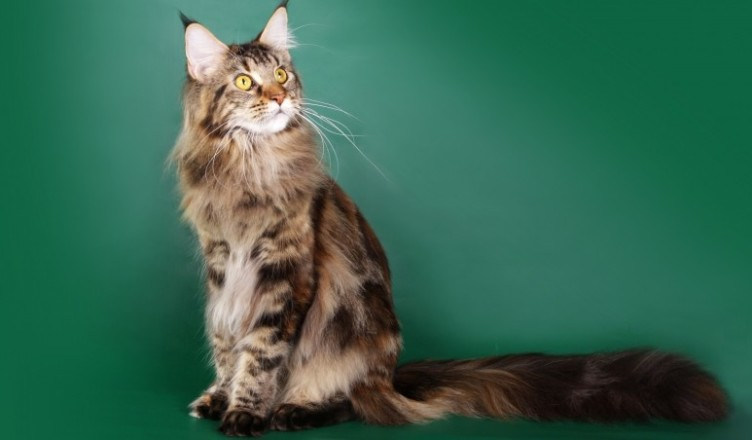 Maine Coon Adoption