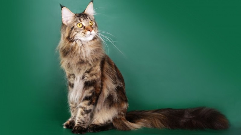 Maine Coon Adoption – Quick Guide