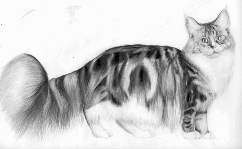 The Maine Coon Biggest Cat Ever 2017