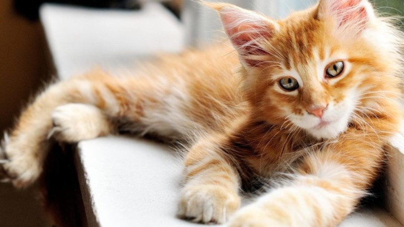 Found a Maine Coon For Sale? Read First