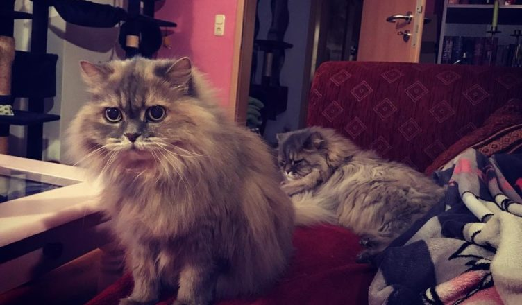 Maine Coon Grooming Tips