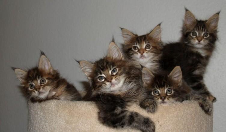 pedigree Maine Coon kitten