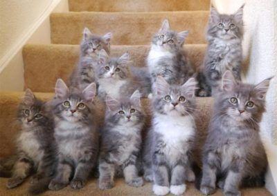 Maine Coon Kittens Litter of Nine