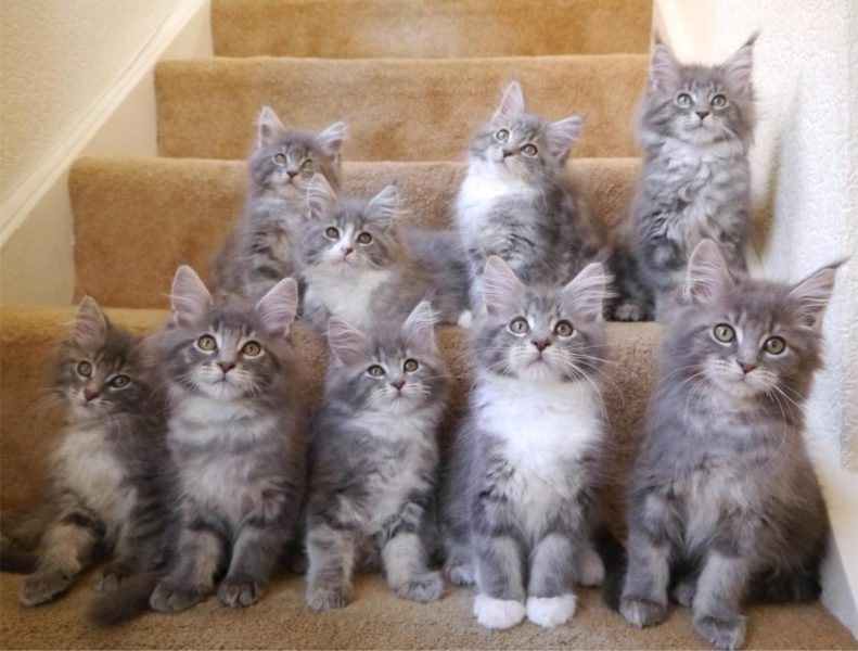 Mainecoon Companion - All about MaineCoon Cats and Kittens