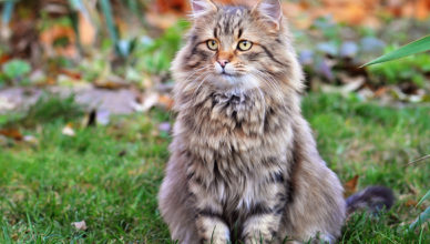 Maine Coon Pictures