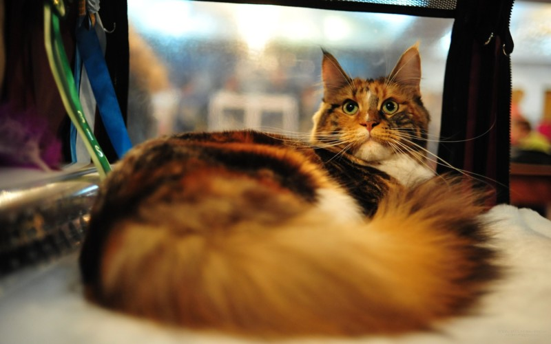 Maine Coon Sale or Return | MaineCoonCompanion