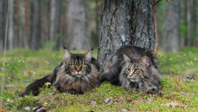 Maine Coon personality