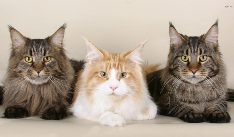 Maine Coon - the subject of American pride