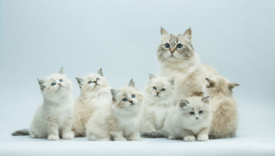 Maine Coon Kittens For Sale Uk Archives Mainecoon Companion