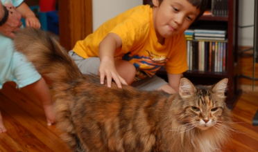 Maine Coon size