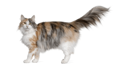 NORWEGIAN FOREST CAT PRICE