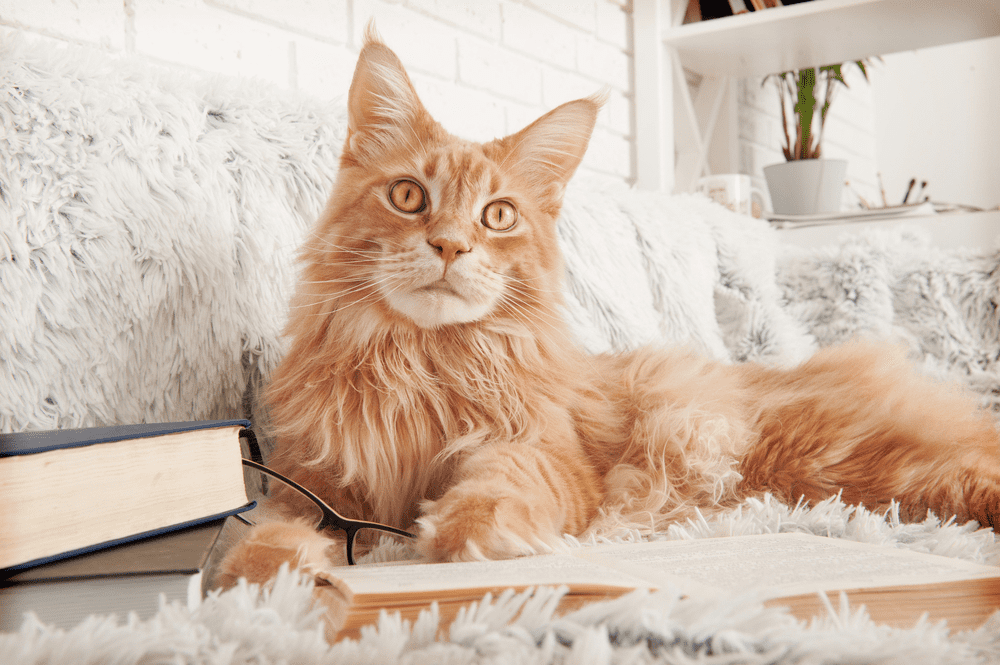 Nature of a Maine Coon