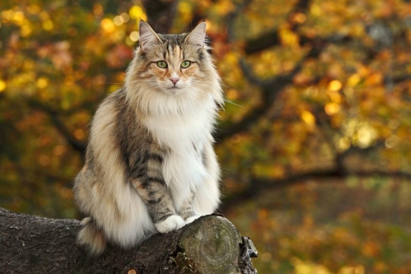 Norwegian forest cat female