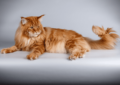 Purebred Maine Coon Adoption
