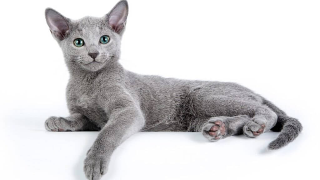 Russian blue breed