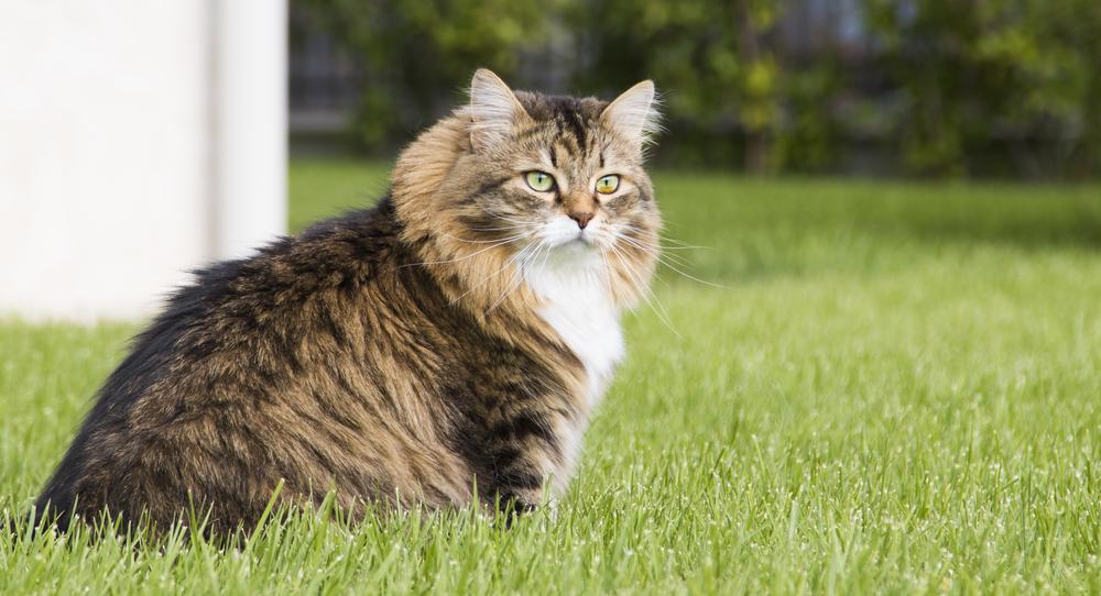 Siberian Cat Appearance