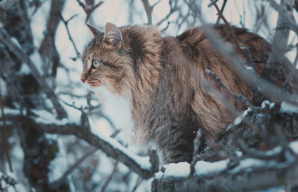 The sensitivity of Human with Siberian Cat