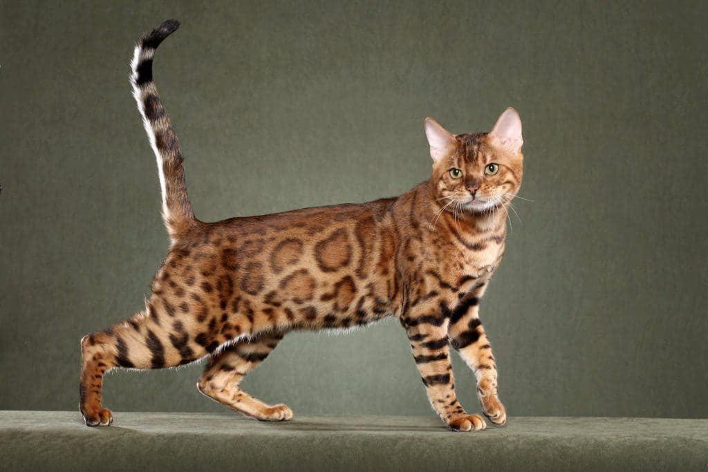 Bengal cat | Snow Bengal Cat - MaineCoon Companion