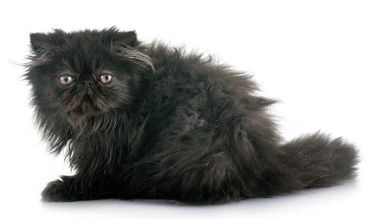 Black Persian Cat Breed Mainecoon Companion