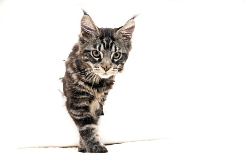 Maine Coon Breeder Health | mainecooncompanion