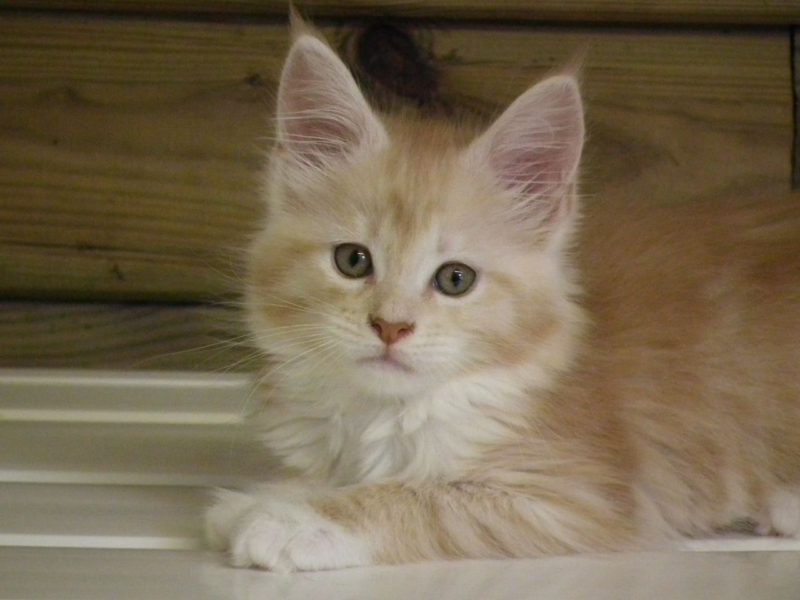 Maine Coon Kittens Adoption or Buy From A Breeder