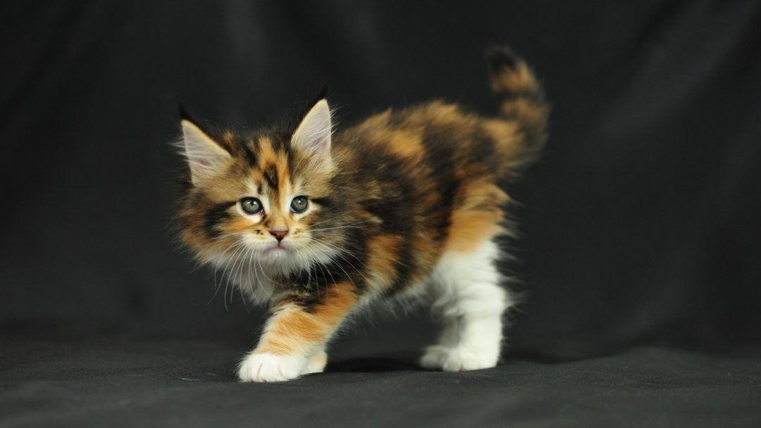 Pet/Companion kittens adoption