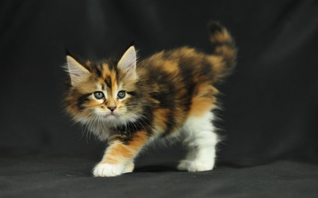 Maine Coon Kittens-Adoption or Buy From A Breeder?