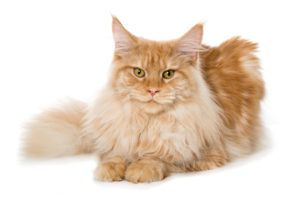 history of maine coon cat