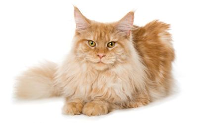 Want To know About History Of Maine Coon Cat? Check This Out!